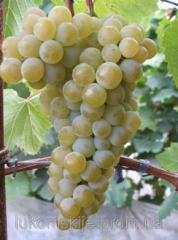 Саженци винного сорта винограда Цитронный Магарача