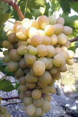 Саженци винограда Бируинца