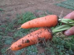 Abako's carrots F1 (early) 200 000 seeds