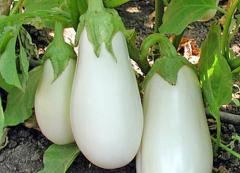 Bibo's eggplant of F1 (early) 1000s