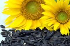 Sunflower Gourmand