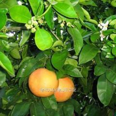 Essential oil of grapefrui