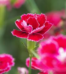 Essential oil of a carnation