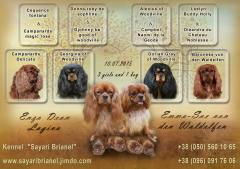 Puppy of the Cavalier King Charles Spaniel