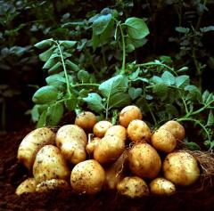 Potatoes wholesale