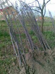 Walnut saplings. Walnut saplings cheap. We offer