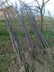 Walnut saplings. Walnut saplings cheap. We offer