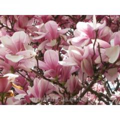Magnolia of sulanzh