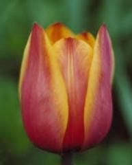 Реализуем луковицу и детку тюльпана Форготтен