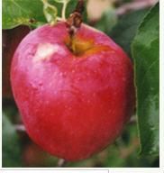 Саженцы яблонь МОЛИС ДЕЛИШЕС