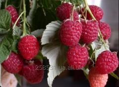 Saplings of remontantny raspberry of Lyachk