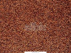 Millet for expor
