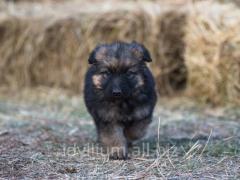 Puppies of a German shepherd from nursery