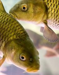 Комбікорм для риби