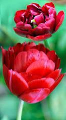 Тюльпан Махровый Antraciet (Киев 6670)