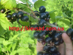 I will sell currant saplings grade Anniversar