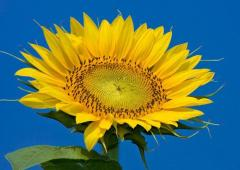 Sunflower for production of OIL (47%)