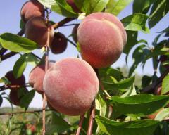 Персики в Украине, Купить, Цена, Фото