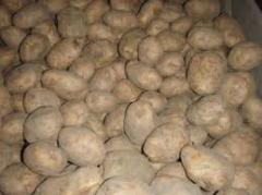 Potatoes of white and pink grades 2 grades for