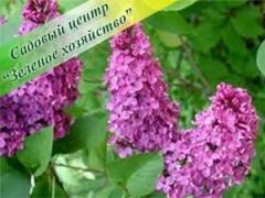 The common lilac, wholesale, Bila Tserkva, Kiev,