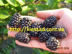 Saplings of blackberry remontant,  grade of...