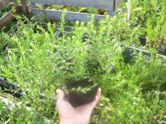 Cranberry saplings in the container