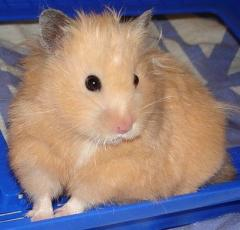Hamster the Syrian peach