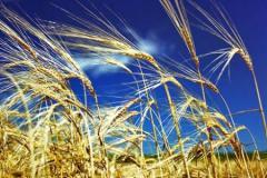 Пшеница мягкая второго класса озимая репродукция Самурай