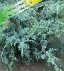 Juniper saplings