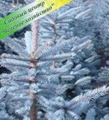 Fir-tree silvery