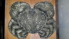 Panel crab