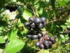 Саженцы Аронии черноплодной