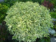 Дерен белый Elegantissima контейнер - С3 по 10шт