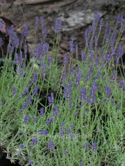 Lavender narrow-leaved Hidcote container C2