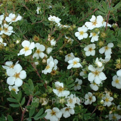 Cinquefoil shrubby Snowbird r9