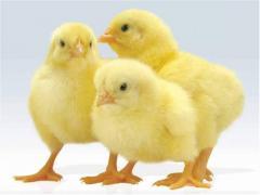 Суточные цыплята бройлера породы Росс 308, Кобб