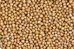 Семена горчицы желтой (гибрид)