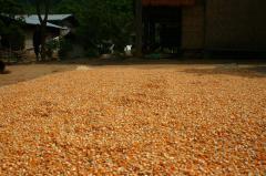 Семена (посевной материал): гибрид горчицы желтой,