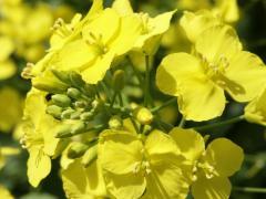 Seeds. Hybrid of mustard yellow, coriander Dutch