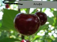 Puieti de copaci fructiferi