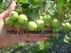 Gooseberry saplings, there are a lot of grades