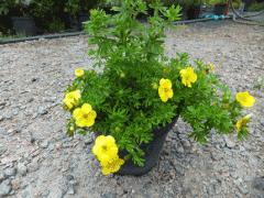 Bushes, ornamental plants sale, wholesale Kiev,