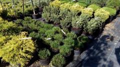 Bushes ornamental, ornamental plants sale,