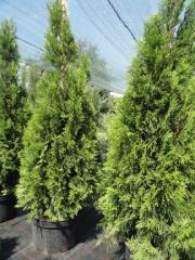 Материал посадочный лиственных