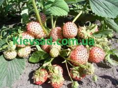 Strawberry saplings grade anablanka (in the