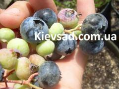 Blueberry saplings, different grades