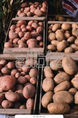 Картофель сортов: Беллароза, Анушка, Алладин,