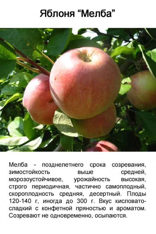 Сорта яблонь  Сорта яблонь