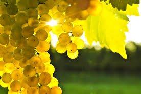 koncentrirovannyj_sok_belogo_vinograda