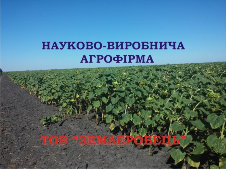 semena_podsolnechnika_sort_tajfun